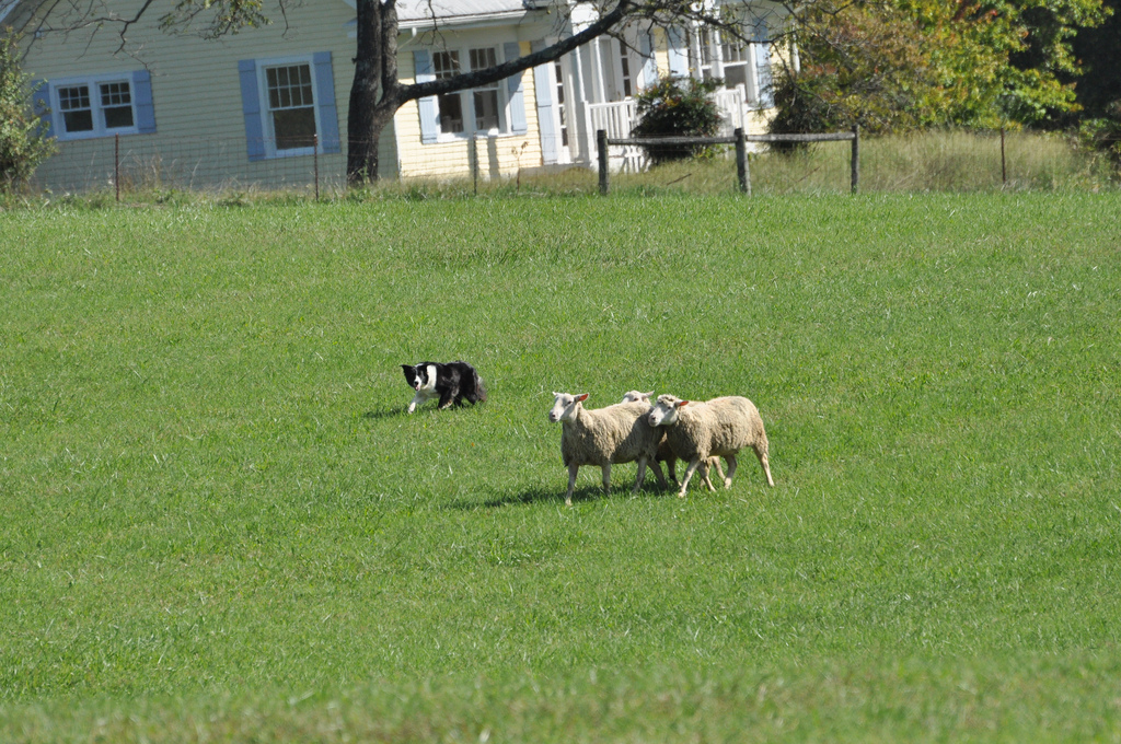 dog-working-sheep