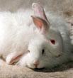 angora-bunny-3
